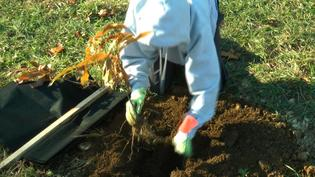Nearly 400 Chestnut Trees Planted in Greenwich