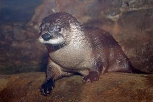 Maritime Welcomes Levi the River Otter
